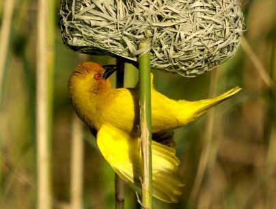 dsc06056_golden_weaver